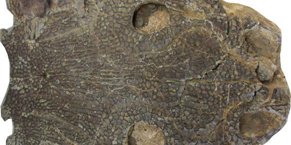 muz-Czaszka-metopozaura